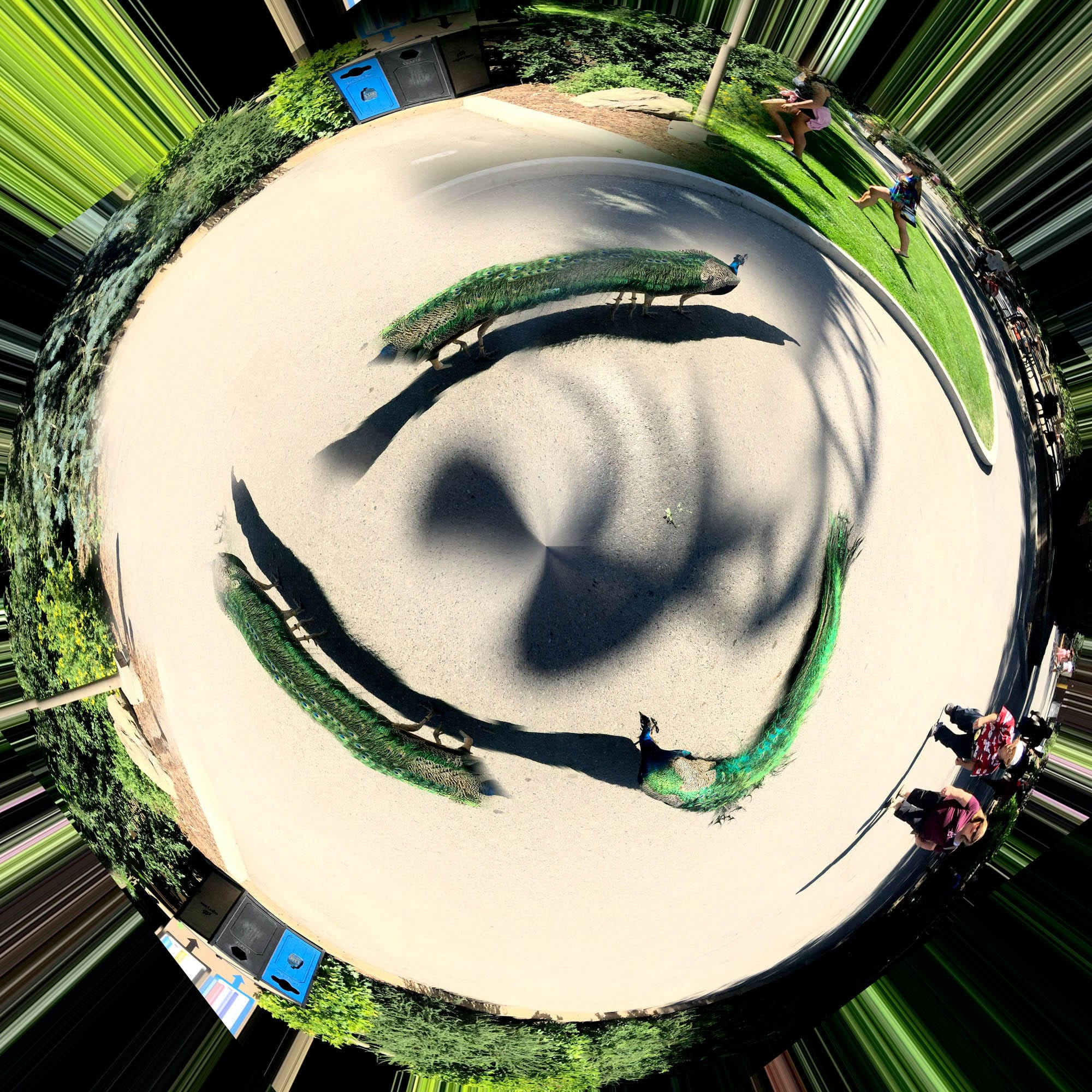 Peacocks on a Tiny Planet